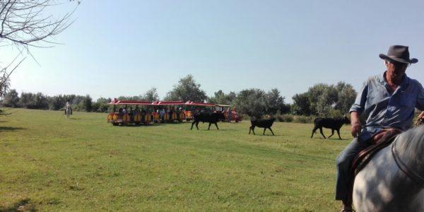 Visite d'une manade (élevage de taureaux)